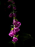 Foxglove in the Spotlight