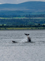 Chanonry Point Bottlenose Dolphins