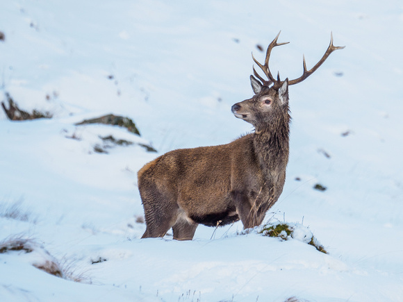 Glen Garry Red Deer
