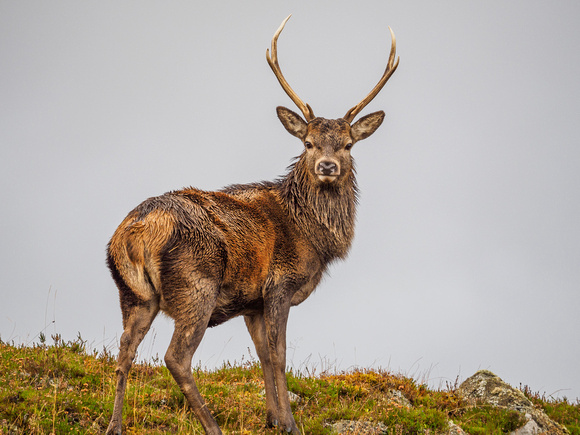Red Deer Stags - Glen Cannich