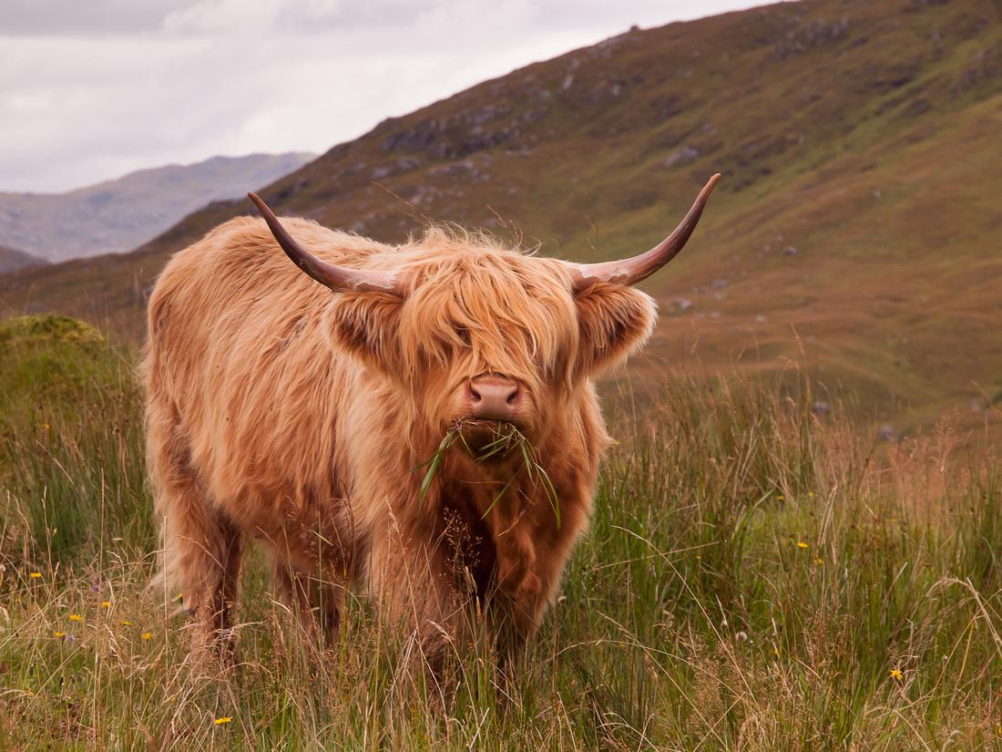 Quoich Highland Cow